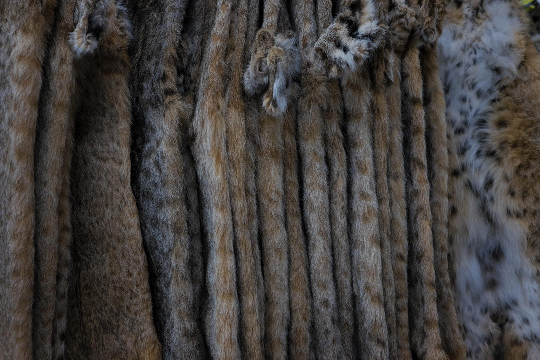 Canada's wild fur trade returns | Al Jazeera America